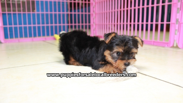 Beautiful Little Yorkie Puppies For Sale, Georgia Local Breeders, Near Atlanta, Ga