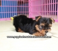 Yorkie puppies for sale in Georgia (9)
