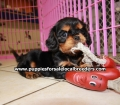 Cavalier King Charles Spaniel puppies for sale in Ga (12)