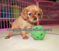 Cavalier King Charles Spaniel puppies for sale in Ga (17)