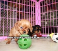 Cavalier King Charles Spaniel puppies for sale in Ga (1)