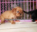 Cavalier King Charles Spaniel puppies for sale in Ga (3)