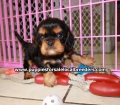 Cavalier King Charles Spaniel puppies for sale in Ga (4)