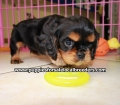 Cavalier King Charles Spaniel puppies for sale in Ga (7)
