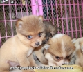 Pomeranian puppies for sale in Georgia (11)