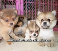 Pomeranian puppies for sale in Georgia (15)