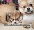 Pomeranian puppies for sale in Georgia (17)