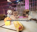 Pomeranian puppies for sale in Georgia (1)