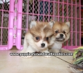 Pomeranian puppies for sale in Georgia (3)
