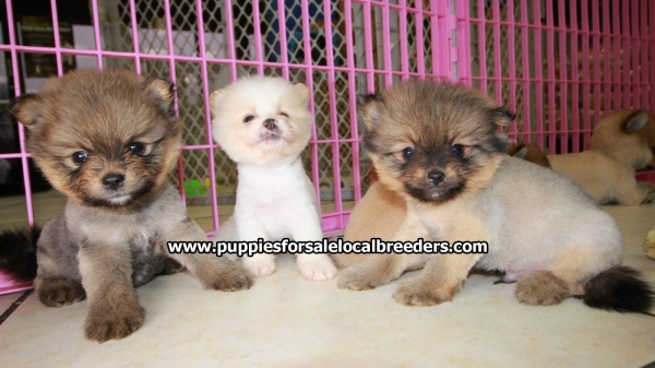 Gorgeous Small Pomeranian Puppies For Sale, Georgia Local Breeders