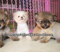 Pomeranian puppies for sale in Georgia (6)