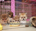 Pomeranian puppies for sale in Georgia (7)