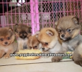 Pomeranian puppies for sale in Georgia (8)