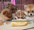 Pomeranian puppies for sale in Georgia (9)