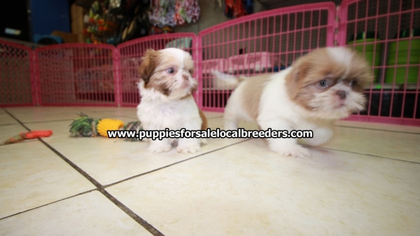 Very Pretty Shih Tzu Puppies For Sale, Georgia Local Breeders, Near Atlanta, Ga