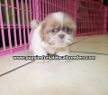Shih Tzu puppies for sale in Georgia (15)