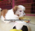 Shih Tzu puppies for sale in Georgia (17)