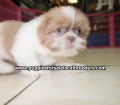 Shih Tzu puppies for sale in Georgia (8)