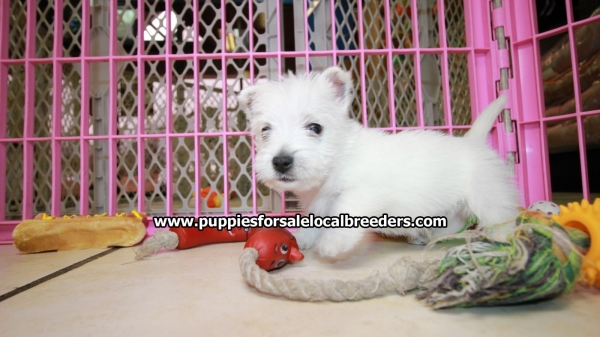 Beautiful Westie Highland Terrier Puppies for sale in