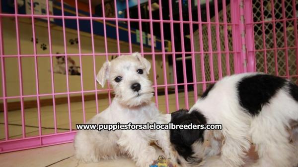 Dachshund Puppy For Sale Near Atlanta Georgia – Desenhos Para Colorir