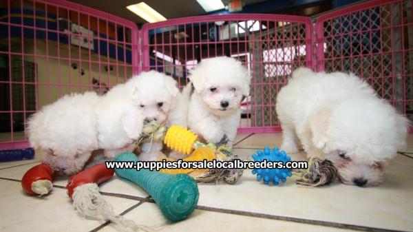 So Sweet, Bichon Frise Puppies For Sale, Georgia Local