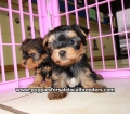 Yorkie puppies for sale in Georgia (10)