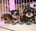 Yorkie puppies for sale in Georgia (5)