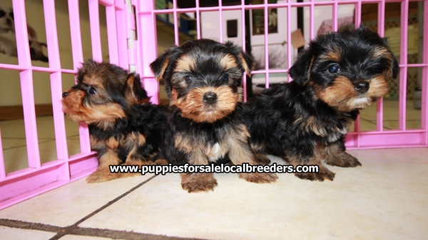 Little Yorkshire Terrier Puppies For Sale, Georgia Local Breeders, Near Atlanta, Ga
