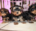 Yorkie puppies for sale in Georgia (6)