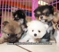 Pomeranian puppies for sale in Ga (10)