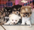 Pomeranian puppies for sale in Ga (11)