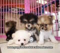 Pomeranian puppies for sale in Ga (13)