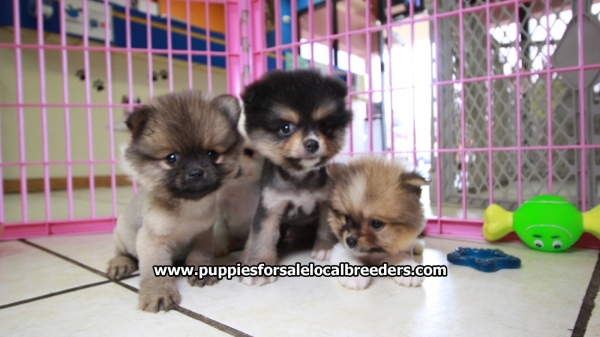 Adorable Teddy Bear Pomeranian Puppies For Sale, Georgia Local