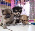 Pomeranian puppies for sale in Ga (1)
