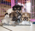 Pomeranian puppies for sale in Ga (2)