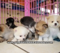 Pomeranian puppies for sale in Ga (5)
