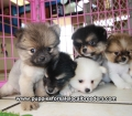 Pomeranian puppies for sale in Ga (8)