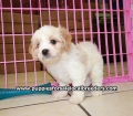 Cavachon puppies for sale in Georgia (1)