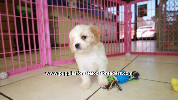 Very Adorable Cavachon Puppies For Sale, Georgia Local Breeders, Near Atlanta, Ga