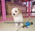 Cavachon puppies for sale in Georgia (3)