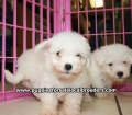 Maltichon puppies for sale in Georgia (11)