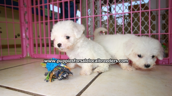 Adorable Teddy Bear MaltiChon Puppies For Sale in Ga Georgia Near Atlanta