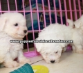 Maltichon puppies for sale in Georgia (7)