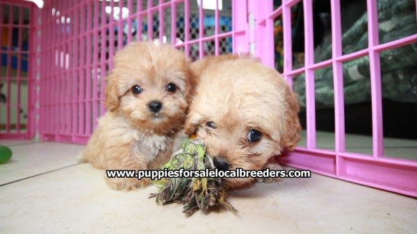 Cute Red Cavapoo Puppies For Sale In Georgia at - Puppies