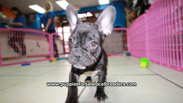 Very Pretty Brindle French Bulldog Puppies For Sale, Georgia