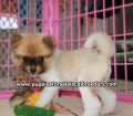 Pomeranian puppies for sale in Georgia (10)