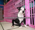 Boston Terrier puppies for sale in Atlanta Ga (13)