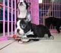 Boston Terrier puppies for sale in Atlanta Ga (16)