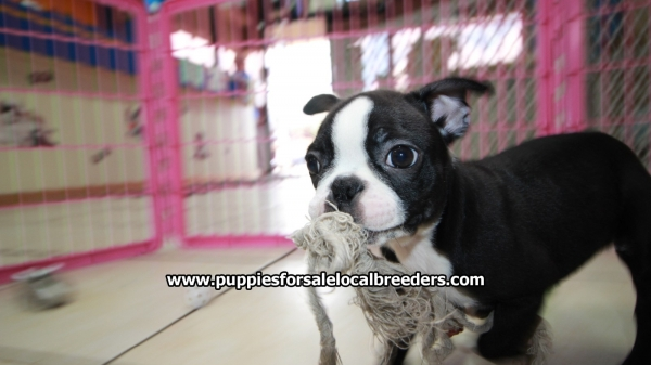 Adorable Boston Terrier Boston Terrier Puppies For Sale, Georgia Local Breeders, Near Atlanta, GA