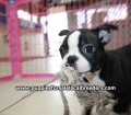 Boston Terrier puppies for sale in Atlanta Ga (5)